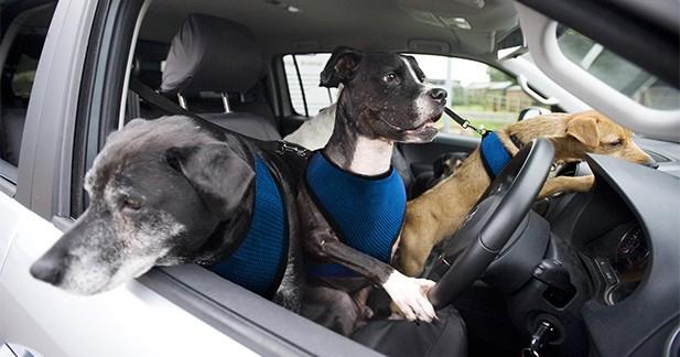 Volkswagen enseigne la conduite à des chiens...