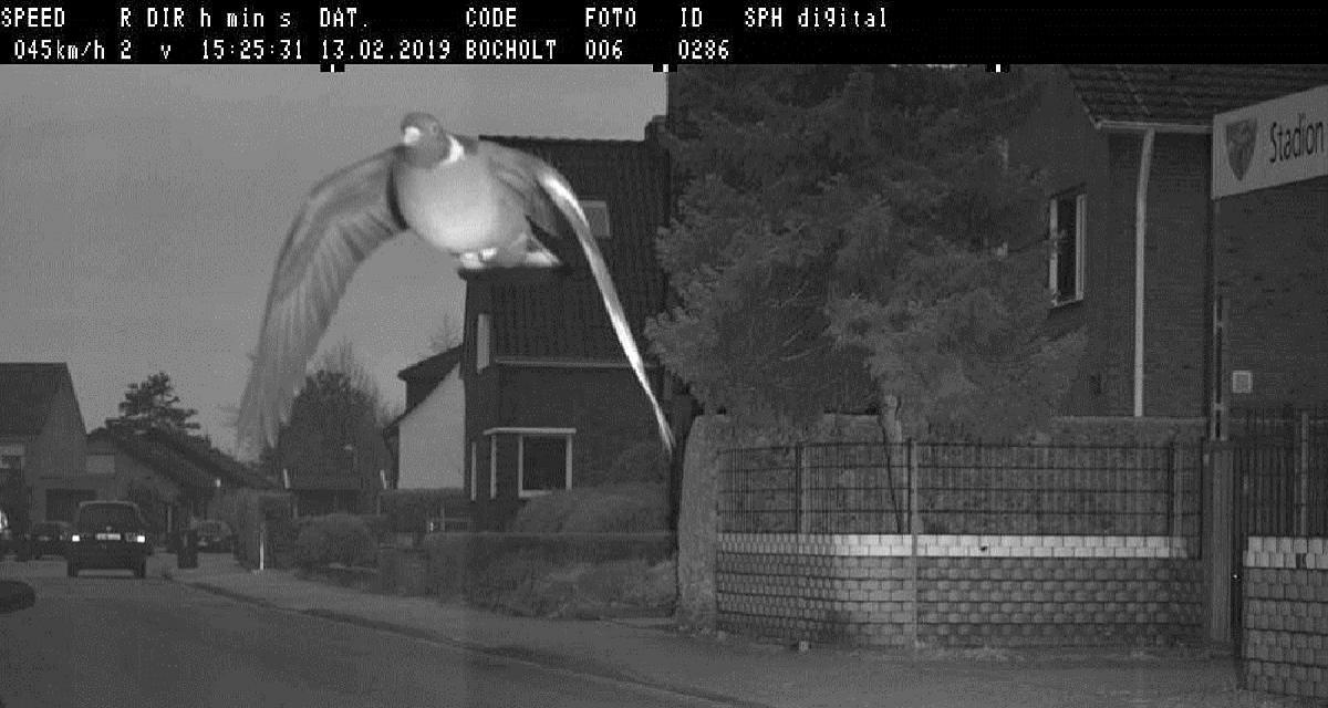 Pigeon flashé par un radar : impunité totale