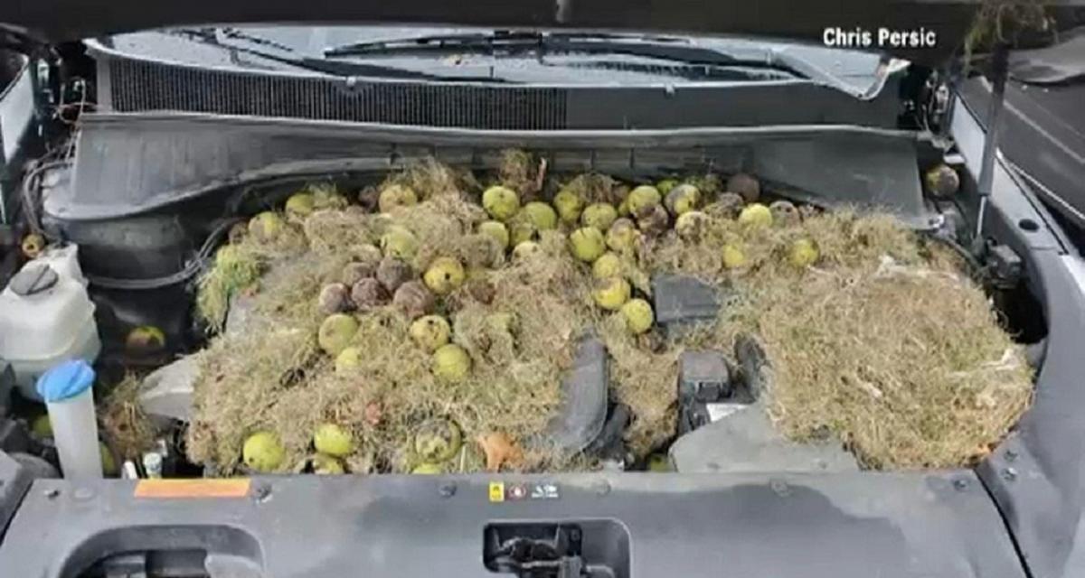 Insolite : une automobiliste découvre une réserve de 200 noix d'écureuils sous son capot