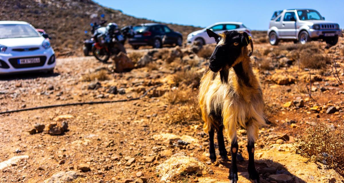 Insolite : une chèvre au volant d'une voiture