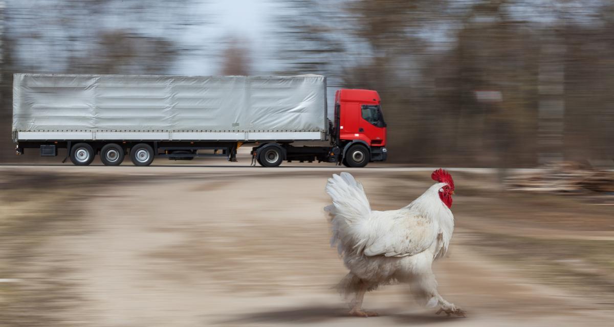 Des poulets sur l'autoroute A29 créent des kilomètres de bouchons !