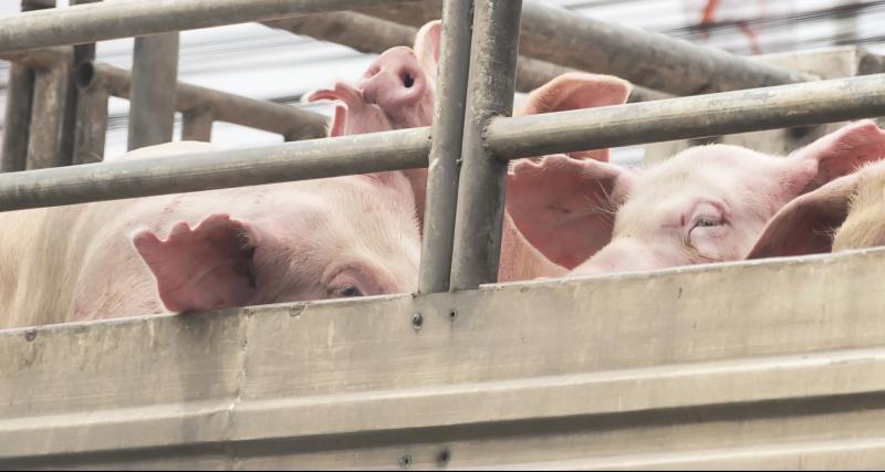 Porc d'attache