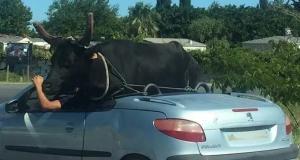 Une vache se balade à bord d'une voiture décapotable (vidéo)