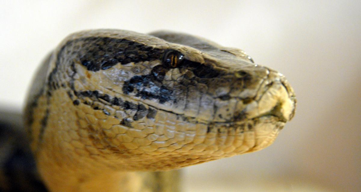 Arrêté pour excès de vitesse, il se faisait en réalité attaquer par un serpent mortel