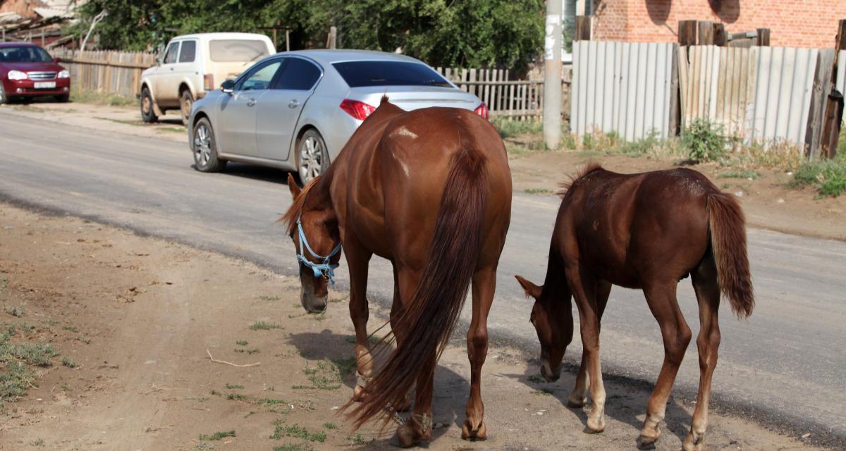 La patte coincée dans un van, un cheval force la fermeture d'une autoroute