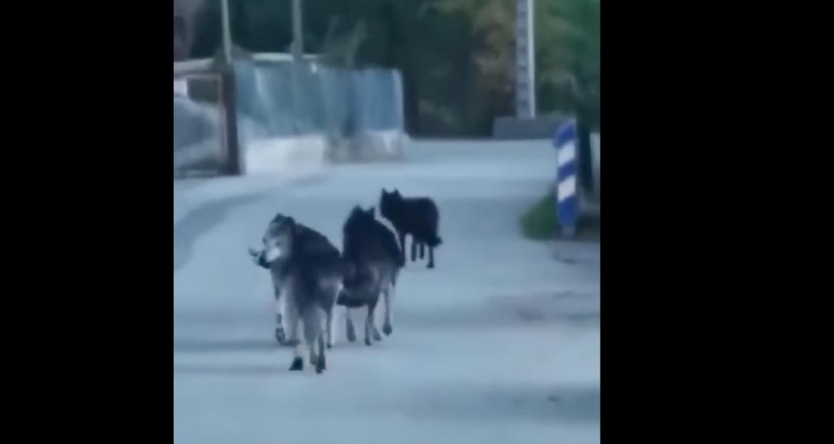 Ils tombent nez à nez avec des loups au beau milieu de la route dans les Alpes-Maritimes (vidéo)