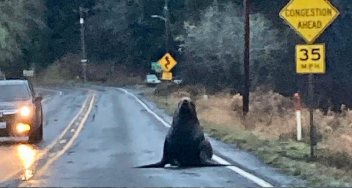 Un phoque au beau milieu de la route aux Etats-Unis, mais comment s'est-il retrouvé là ?