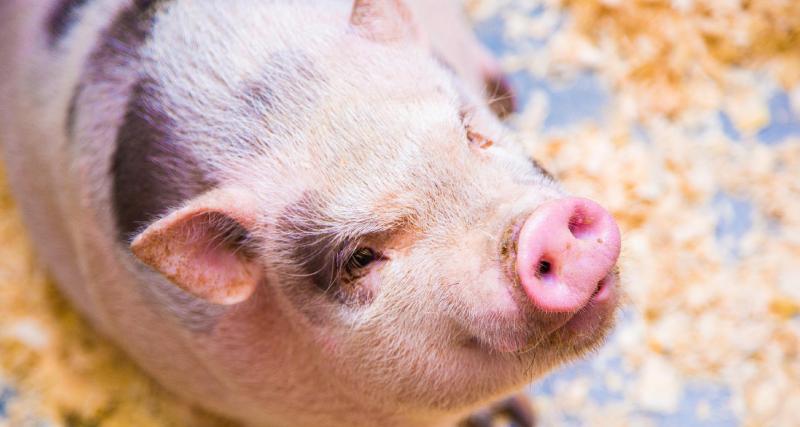 De l'urine de porc comme carburant : l'idée un peu folle d'un éleveur breton
