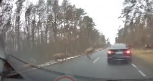 VIDEO - Quand un troupeau de cerfs déboule en plein milieu de la route, ça peut faire des dégâts