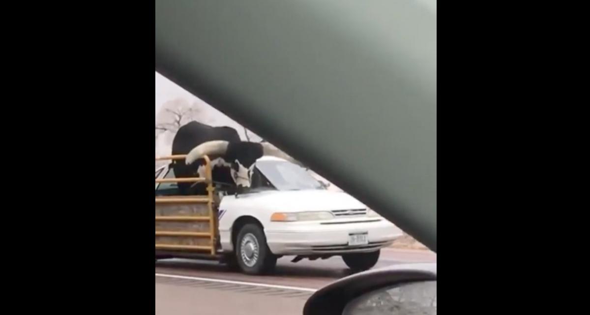 VIDEO - Il n'y a qu'au Texas que vous verrez du bétail transporté dans une voiture